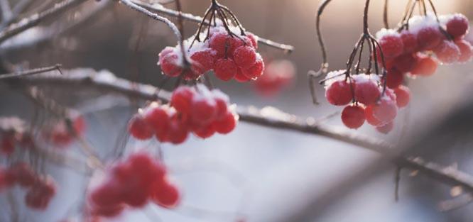 Svatba v zimě - jeřabiny