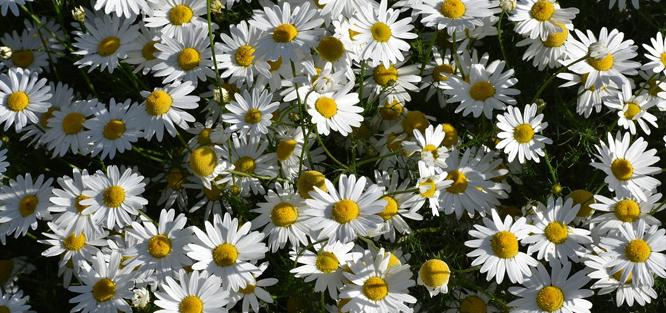Luční svatební kytice z heřmánku
